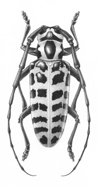 graphite drawing of cottonwood borer beetle