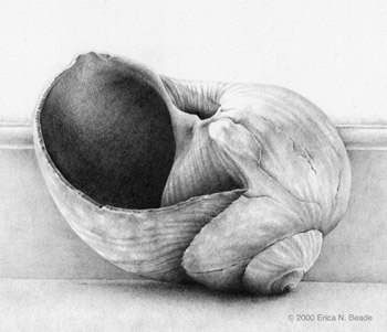 graphite drawing of moonsnail shell