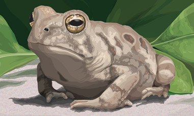 Illustration of Fowler's Toad_5