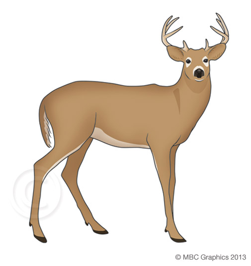 Illustration of White-Tailed Deer
