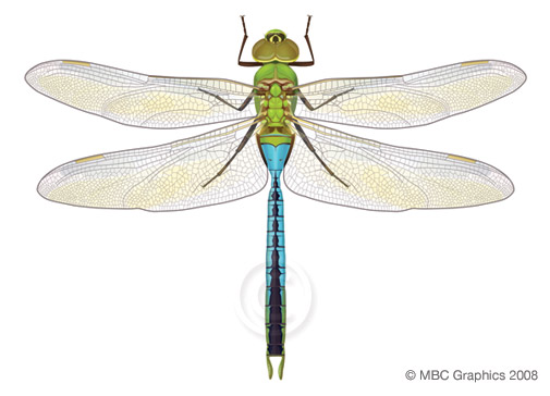 Illustration of Common Green Darner Dragonfly