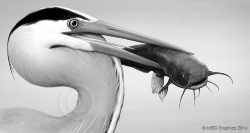 Illustration of Great Blue Heron holding Catfish