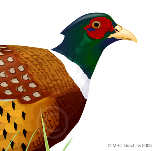 Illustration of Ring-Necked Pheasant (detail)