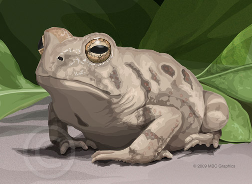 Illustration of Fowler's Toad