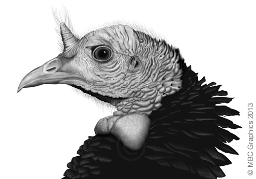 Illustration of Wild Turkey