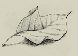 sketch of leaves