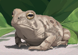 fowler's toad illustration