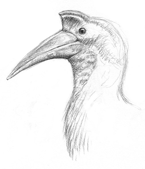 Observational Sketch of a Hornbill
