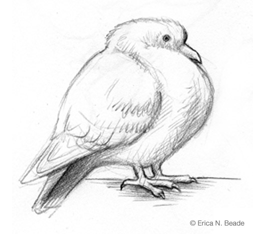 Cartoon Sketch of a Pigeon